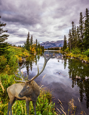 Rain clouds hover over the valley along the Pocahontas road. Gorgeous deer with horns grazing on the lake. Rocky Mountains of Canada. Concept of ecological, active and photo-tourism 免版税图像
