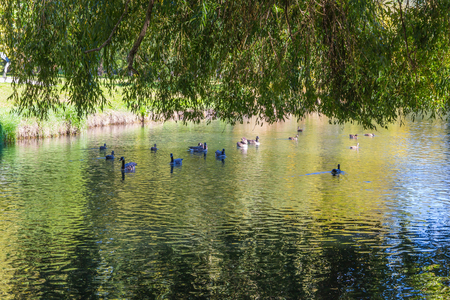 Picturesque city park in English style in Christchurch. Ducks and geese swim in a calm river. New Zealand, South Island. Concept of active and ecological tourism 版權商用圖片