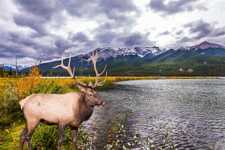 Gorgeous deer with horns grazing on the lake. Rocky Mountains of Canada. Cold wind drives a light wave in the lake. Concept of ecological, active and photo-tourism Stock Photo