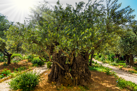 Magnificent millennial olives grow on red-orange sandstone. Gethsemane Garden on the Mount of Olives in Jerusalem. The concept of historical, religious and ethnographic tourism