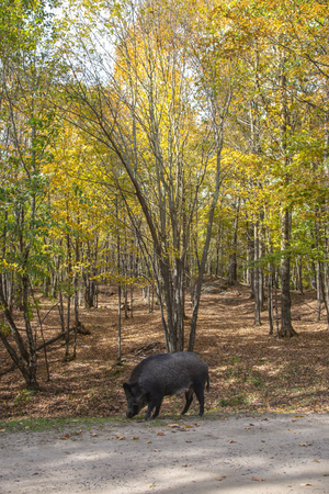 The wild boar came to a forest glade. Safari Park Omega between Montreal and Ottawa