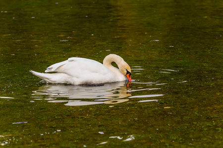 Spring high water. Quiet picturesque lake in Northern Italy. A lonely white swan swims and picturesquely reflects in the smooth calm water. Concept of cultural and ecological tourism