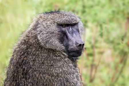 Africa, Kenya  Safari - tour to the famous Kenyan reserve Masai