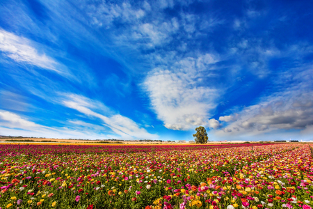 Sunny lovely day in the south of Israel. Picturesque kibbutz field of flowering garden buttercups. Cirrus thin clouds.  The concept of active, ecological and photo tourism Stock Photo