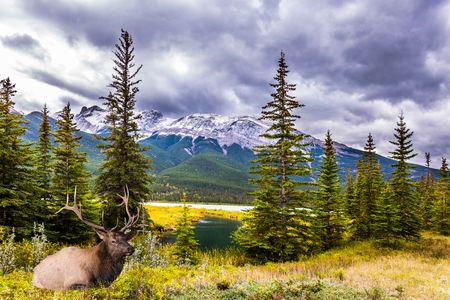 Deer with horns resting on the lake. Rocky Mountains of Canada. Rain clouds hover over the valley along the Pocahontas road. Concept of ecological, active and photo-tourism
