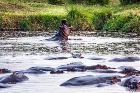 Herd of huge hippos rests in the water of Lake Naivasha. One behemoth yawns. Safari - tour to the famous reserve Hell's Gate Park, Kenya. The concept of exotic, ecological and phototourism