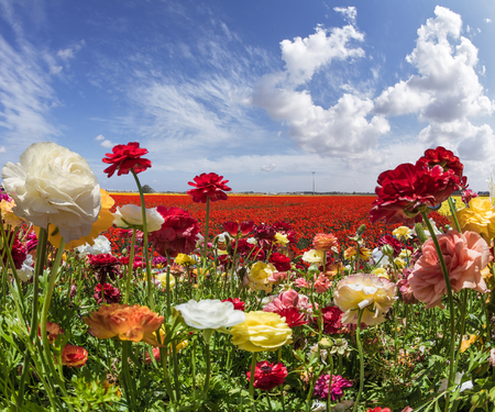 Red, yellow, pink, orange flowers swaying in the wind. Spring warm day. Farm field blooming large garden buttercups /ranunculus/. The concept of ecological, rural and photo tourism