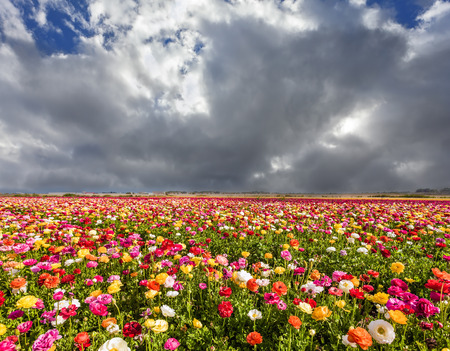 Heavy rain cloud over a flower field. Blooming garden red and yellow buttercups sway in the strong wind. Khamsin - east wind from the desert. The concept of ecological, rural and photo tourism