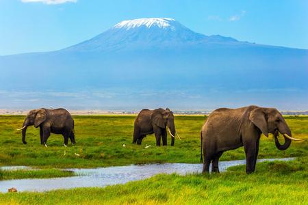 Safari - Tour zum berühmten Amboseli Reservat, Kenia. Wilde Tiere im natürlichen Lebensraum. Afrikanische Elefanten am Kilimanjaro. Das Konzept des exotischen, ökologischen und Fototourismus Standard-Bild