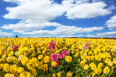 Spring flowering. Kibbutz fields of flowering garden buttercups / ranunculus/. Lush cumulus clouds fly over the fields. Concept of ecological and rural tourism