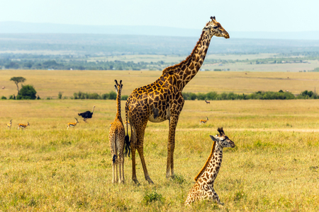 Giraffenfamilie, die in der Savanne weiden lässt. Wilde Tiere im natürlichen Lebensraum. Safari - Tour zum Kenia Amboseli Reservat. Das Konzept des exotischen, ökologischen und Fototourismus Standard-Bild