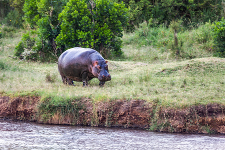 Huge hippo grazing on the shore of Lake Naivasha. Safari - tour to the famous Kenyan reserve Hell's Gate Park, Kenya. The concept of exotic, ecological and phototourism