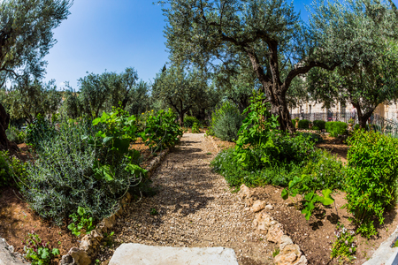 Magnificent well-kept garden - a symbol of the Christian faith. Gethsemane Garden on the Mount of Olives in Jerusalem. The concept of historical, religious and ethnographic tourism 版權商用圖片