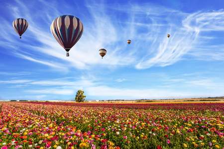 Balloons flies over the flower field. Easter week. Kibbutz in the south of Israel. Farmer field of flowering ranunculus. Light clouds in the blue sky. The concept of active, rural and ecotourism 版權商用圖片