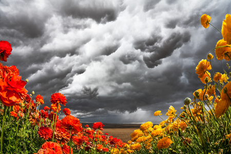 Heavy rain cloud over a flower field. Blooming garden red and yellow buttercups swaying in the wind. Concept of artistic photography