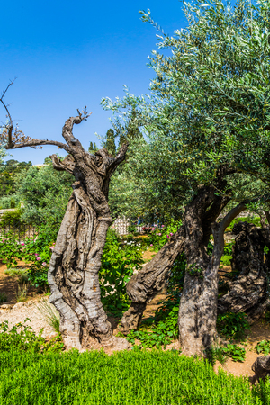 In Gethsemane grow very ancient olives. The ancient and well-kept Garden of Gethsemane in holy Jerusalem. The concept of historical, religious and ethnographic tourism