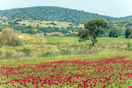 Field of blooming anemones. Foggy spring day in Israel. Concept of ecological and rural tourism