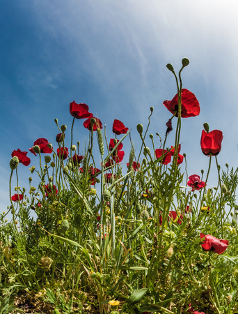 The southern wind begins - khamsin. Field of blooming red anemones of the family of buttercups. Early spring in Israel. Concept of ecological and rural tourism