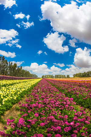 Walk on a sunshiny day. Farm field of great flowers. Garden buttercups bloom in bright colors. The concept of eco-tourism