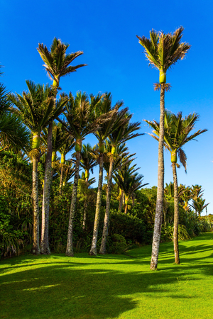 Travel to an exotic country New Zealand. Sunny summer afternoon. Tall, slender palm trees in a palm grove. Sunny summer afternoon meadow. The concept of ecological, exotic and photo tourism Stok Fotoğraf - 123371757