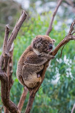 The brown koala or marsupial bear is a herbivorous mammal. Adorable Shaggy Brown Teddy Bear. The only modern representative of the koal family. Ecotourism concept Stockfoto