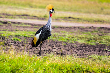 Adorable bird Crowned Crane. Safari - tour to the famous Kenyan reserve Hell's Gate Park, Kenya. The concept of exotic, ecological and phototourism