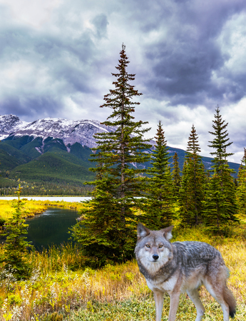 Gorgeous gray wolf stands on the edge of the forest. The valley along the Pocahontas road. Rocky Mountains of Canada. Concept of ecological, active and photo-tourism Stock Photo