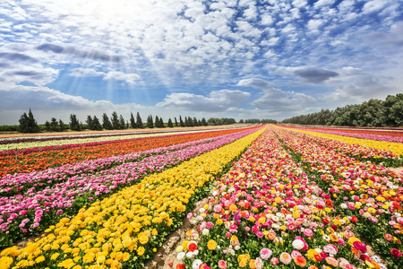 Flower kibbutz near Gaza Strip. The suns rays shine from clouds. Spring flowering buttercups