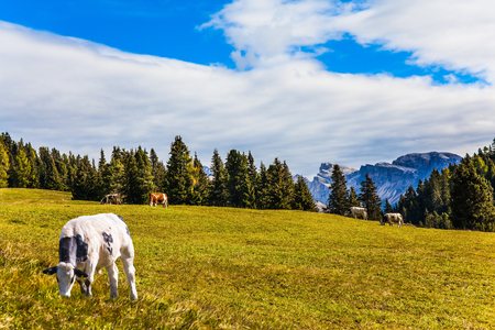 Big white cow graze on grassy hills. Sunny day. Magnificent rocky ridge borders a valley Alpe di Siusi. The Dolomites, Italy. The concept of walking, ecological and photo tourism Imagens