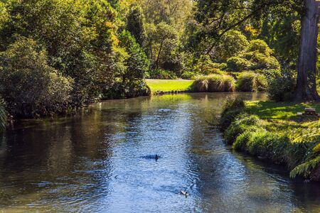 Ducks swim in slow water. Indian summer. Rather quiet river flows through the park. Christchurch Scenic Botanical Garden. Travel to New Zealand. The concept of ecological and photo tourism