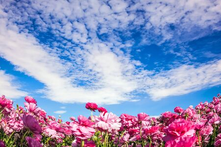 Cool spring in Israel. Adorable pink garden buttercups bloom on a kibbutz field. Clouds fly in the sky. Concept of ecological and rural tourism