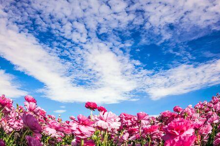Kühler Frühling in Israel. Entzückende rosa Gartenbutterblumen blühen auf einem Kibbuzfeld. Wolken fliegen am Himmel. Konzept des ökologischen und ländlichen Tourismus