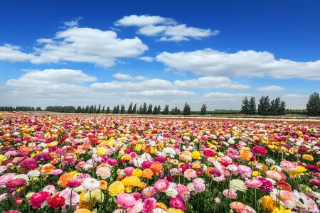 Israeli kibbutz on the border with the Gaza Strip. Huge field of blossoming buttercups. Spring