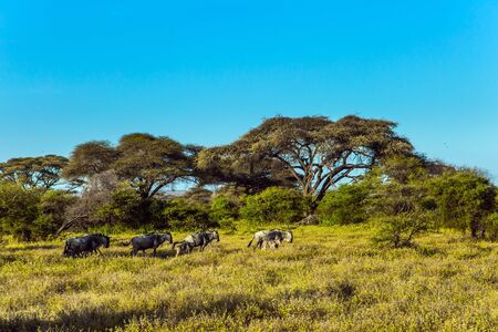 Small flock of wildebeest. Kenya. Amboseli Park is reserve at the Kilimanjaro mountain. Savanna with rare bushes and desert acacies. The concept of ecological and photo tourism