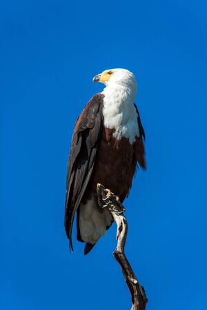 Bald eagle sitting on a dry tree. The swampy banks of the African river are overgrown with reeds.The concept of active, extreme and photo tourism Stock Photo