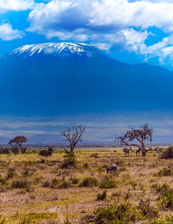 Wildebeests and giraffes graze in the savannah with bushes and desert acacies. Impressive travel to Africa, Amboseli Park. The snow peak of Kilimanjaro. The concept of exotic, ecological and photo tourism