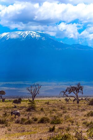Wildebeests and giraffes graze in the savannah with bushes and desert acacies. The snow peak of Kilimanjaro. Impressive travel to Africa, Amboseli Park. The concept of exotic, ecological and photo tourism