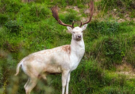 Gorgeous spotted deer with huge beautiful horns. Green grassy hills of the park for breeding deer. Hunting Park. Fabulous New Zealand. The concept of exotic and active tourism