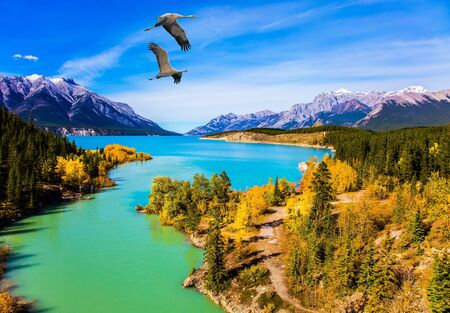 The emerald water of the Abraham lake is surrounded by golden autumn groves of aspen and evergreen coniferous forests. Concept of active, ecological and photo tourism