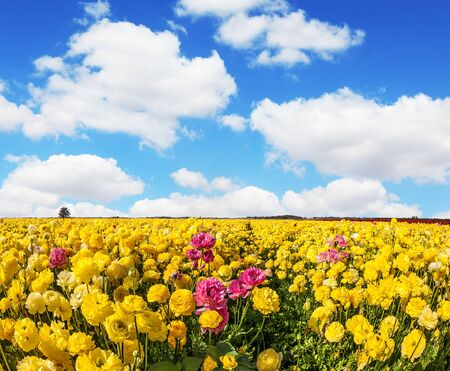 Adorable yellow garden buttercups - ranunculus bloom on a farm field. Cumulus clouds fly in the blue sky. Cloudy day in May. Concept of ecological tourism