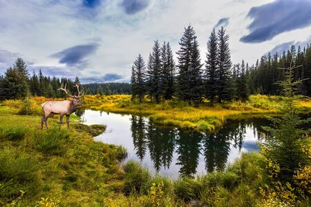 Cold cloudy autumn day near road to Alaska. Canadian Rockies. Deer resting in the grass by the lake. Northern Cordillera. The concept of ecological, active and photo tourism