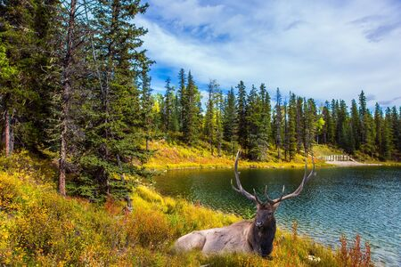 Deer resting in the grass by the lake. Cold cloudy autumn day near the Bighorn Highway. Canadian Rockies. The concept of ecological, active and photo tourism
