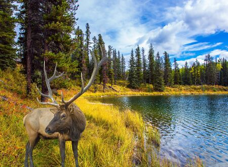 Cold cloudy autumn day near the Bighorn Highway in the Canadian Rockies. Magnificent deer with branching horns grazes on the lake. The concept of ecological, active and photo tourism Фото со стока