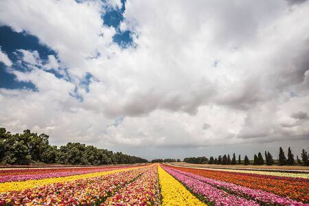 The magnificent flower carpet of colorful garden buttercups. Spring flowering buttercups. Flower kibbutz on the border with Gaza Strip