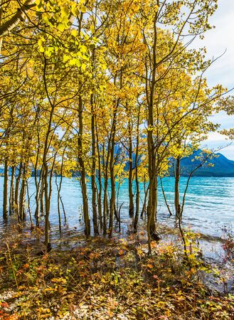 Journey to the Golden Autumn in Rocky Mountains. Magnificent turquoise Abraham Lake in a flood. The flooded coastal gold birchwoods. The concept of ecological and active tourism Stock Photo