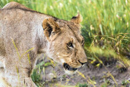 グラシーサバンナ。背の高い緑の草の若いライオンは狩りの準備をしています。ケニアの有名なマサイマラ保護区。生態学的、エキゾチック、極端