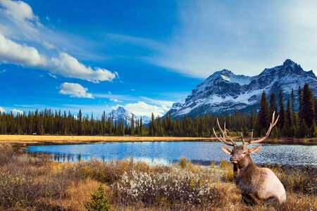 Autumn Journey to the Rockies of Canada. Shallow lake overgrown with yellowed grass. Gorgeous Canadian deer resting by the lake. Active, eco and photo tourism concept 免版税图像