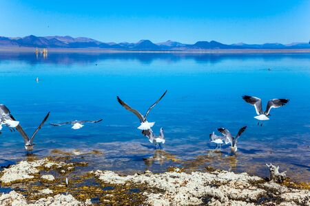 Many birds feed on the shores of Mono Lake. Picturesque Mono Lake with lime-tuff towers in California, USA. Evening by the lake. The concept of active, ecological, exotic and photo tourism Stok Fotoğraf