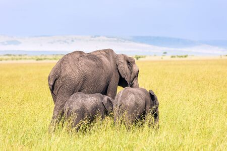 Elephant family with cubs in the savannah. The famous Masai Mara Reserve in Kenya. Africa. Elephants are the largest land mammals. The concept of ecological, exotic and photo tourism
