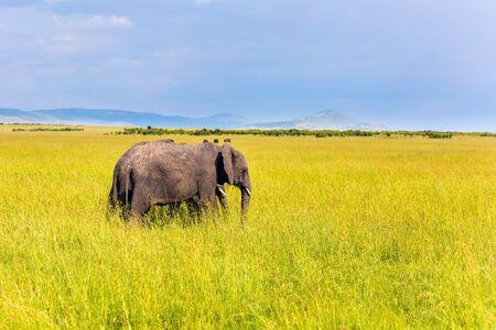 Paar Steppenelefanten. Elefanten sind die größten Landsäugetiere. Das berühmte Masai Mara Reservat in Kenia. Afrika. Das Konzept des ökologischen, exotischen, extremen und Fototourismus